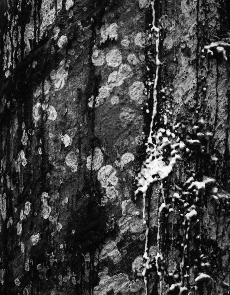 Karolina Karlic, (Untitled) Rubber Tree Study No.1